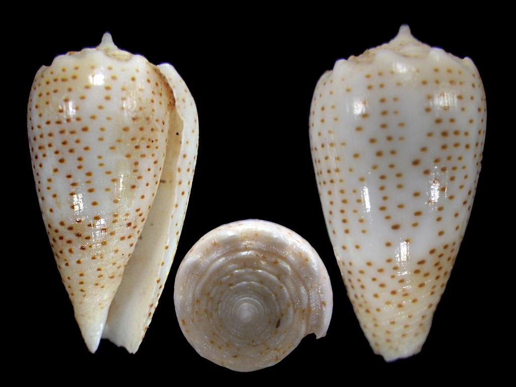 Conus (Puncticulis) arenatus  Hwass in Bruguière, 1792 - Page 3 Rimg7710