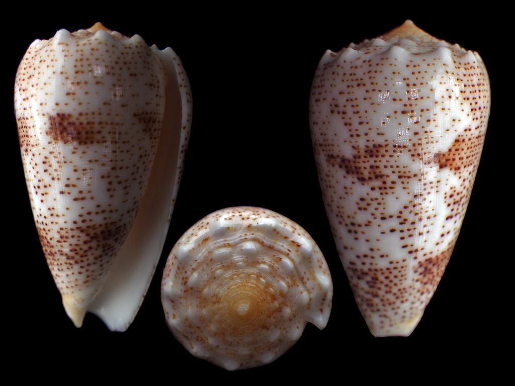 Conus (Puncticulis) arenatus  Hwass in Bruguière, 1792 - Page 3 Rimg7711