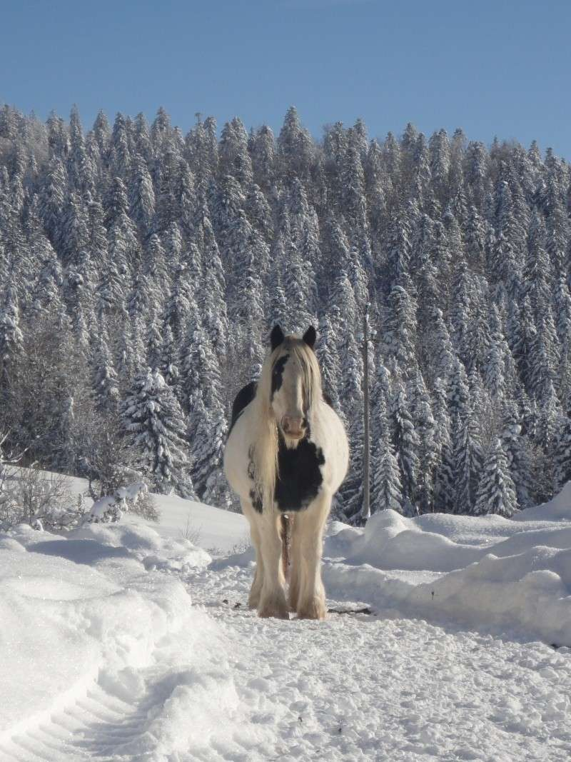 """Concours photo  """"L'irish cob dans la neige"""" Dsc06211"""