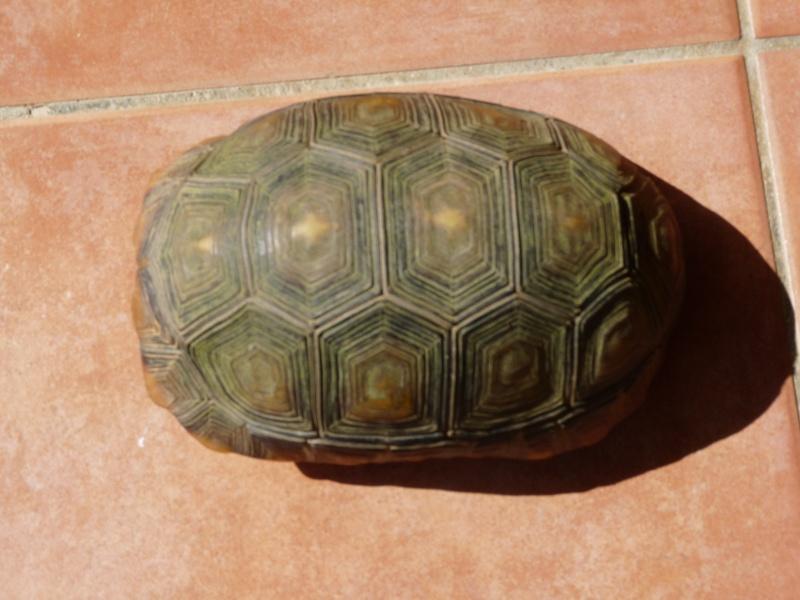 Identification de la tortue de Pipo P1070210