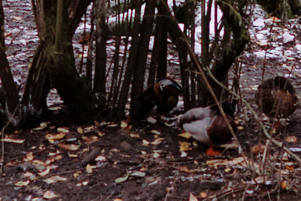 Canard mandarin au Parc Josaphat Mandar10