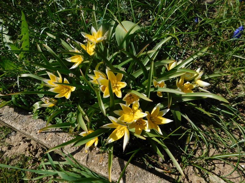 Erste Frühlingsboten im Garten und in Wald und Flur - Seite 95 Tulp1-10
