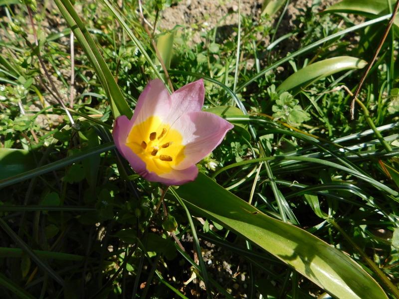 Erste Frühlingsboten im Garten und in Wald und Flur - Seite 95 Tulp2-10