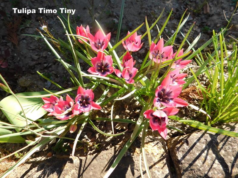 Erste Frühlingsboten im Garten und in Wald und Flur - Seite 96 Tulp6-10