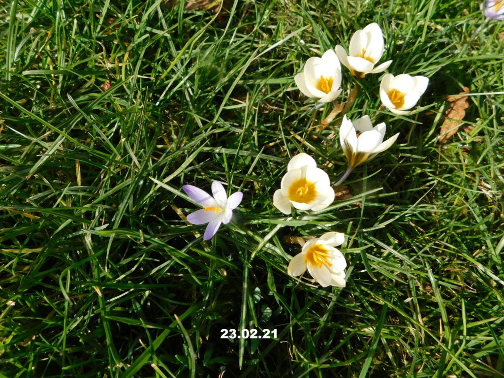 Erste Frühlingsboten im Garten und in Wald und Flur, Teil 2 - Seite 3 Wiese210