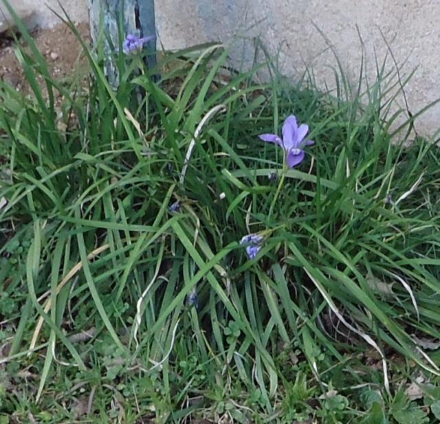 Iris unguicularis ou Iris d'Alger 01211