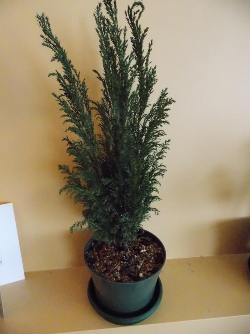 Lawson Cypress Dscn0111