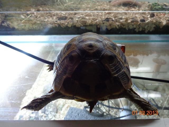 espèces de mes tortues hermannii ou boettegerii,aidez moi Dsc00030