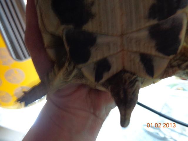 espèces de mes tortues hermannii ou boettegerii,aidez moi Dsc00031