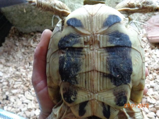 espèces de mes tortues hermannii ou boettegerii,aidez moi Plastr10