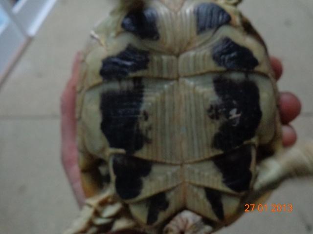 espèces de mes tortues hermannii ou boettegerii,aidez moi Plastr12