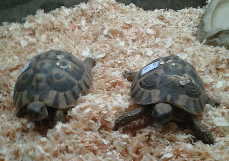 espèces de mes tortues hermannii ou boettegerii,aidez moi Tortue10