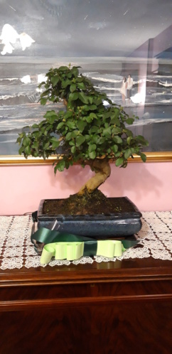Nuovo bonsai: LIgustrum Sinensis 20191210