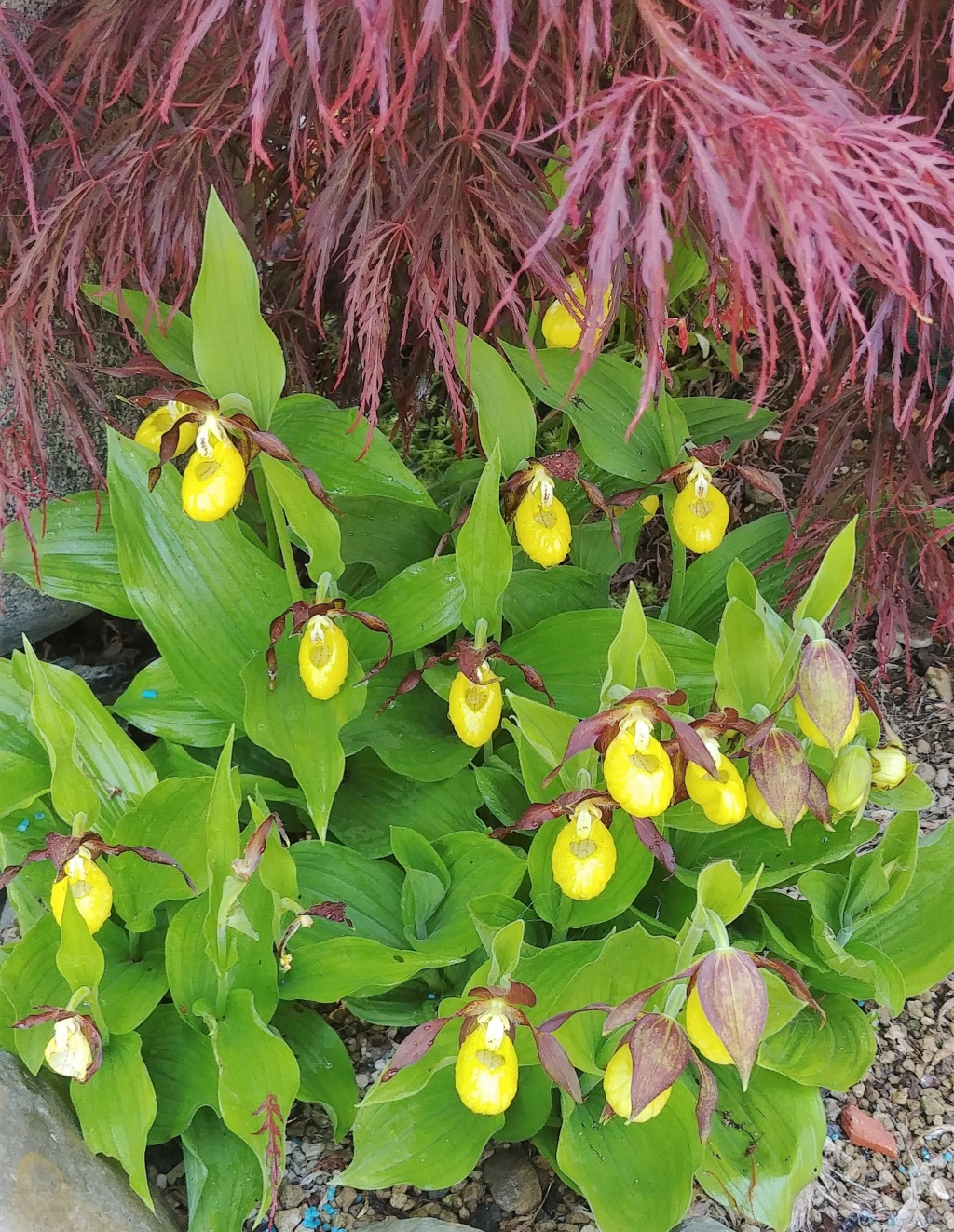 Cypripedium calceolus 20190510
