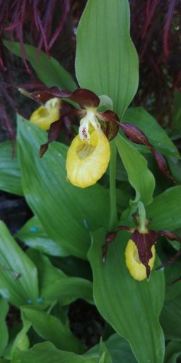 Cypripedium calceolus 20190515