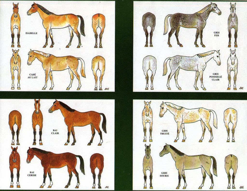 Trompette de Chasseurs à cheval Chevau13