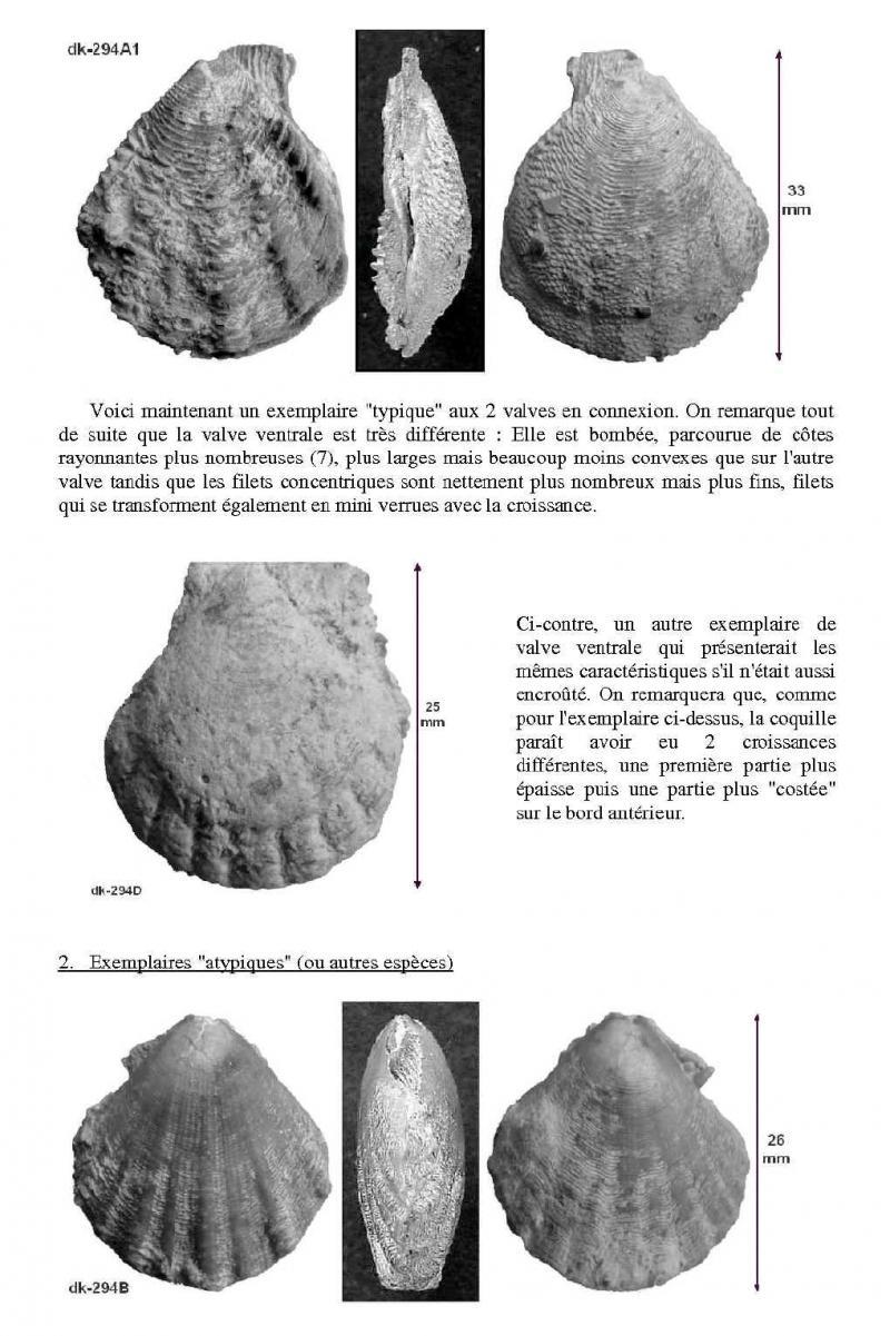 variations chez Radulopecten bathonien luc sur mer Radulo11