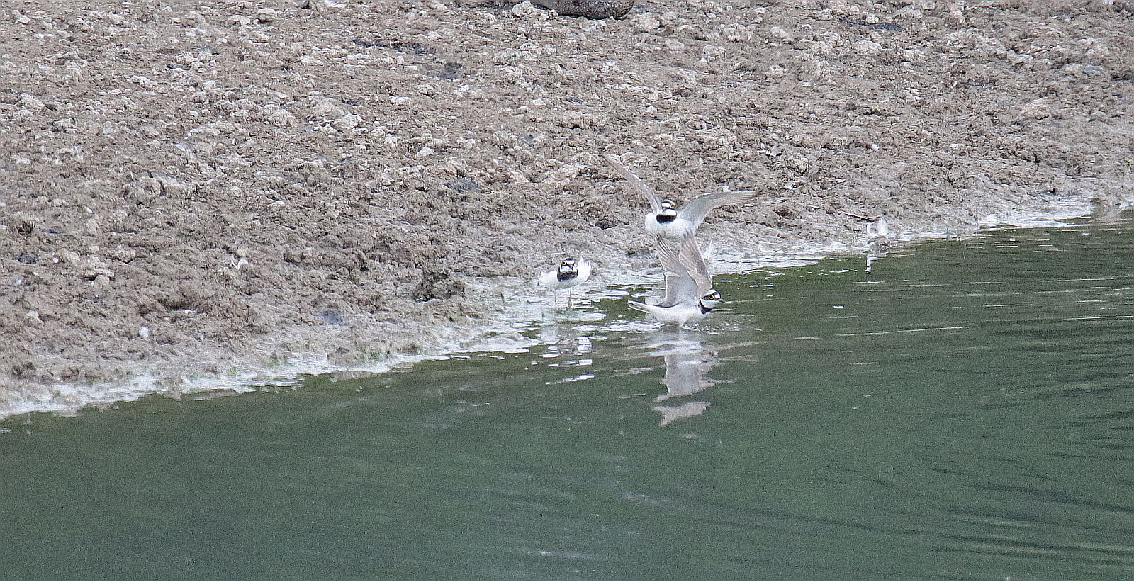 Der Flussregenpfeifer 3_115