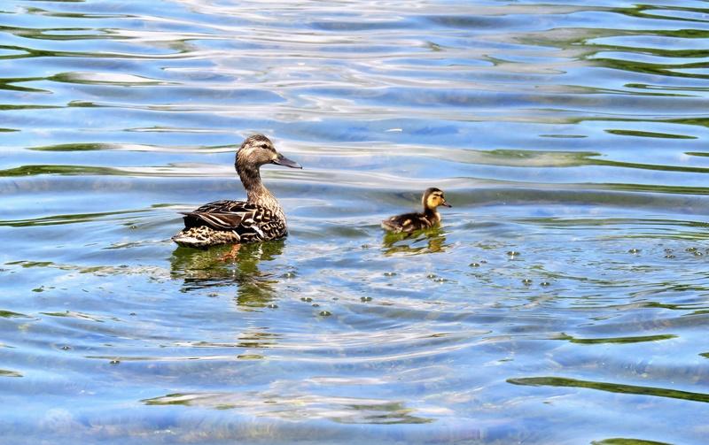 Canard colvert femelle et ses petits  Img_4312