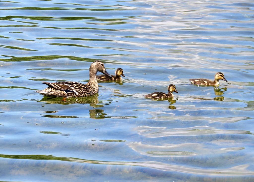 Canard colvert femelle et ses petits  Img_4314