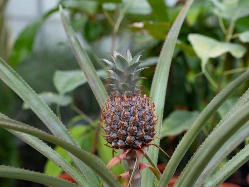 L'ananas, le fruit roi 10099310