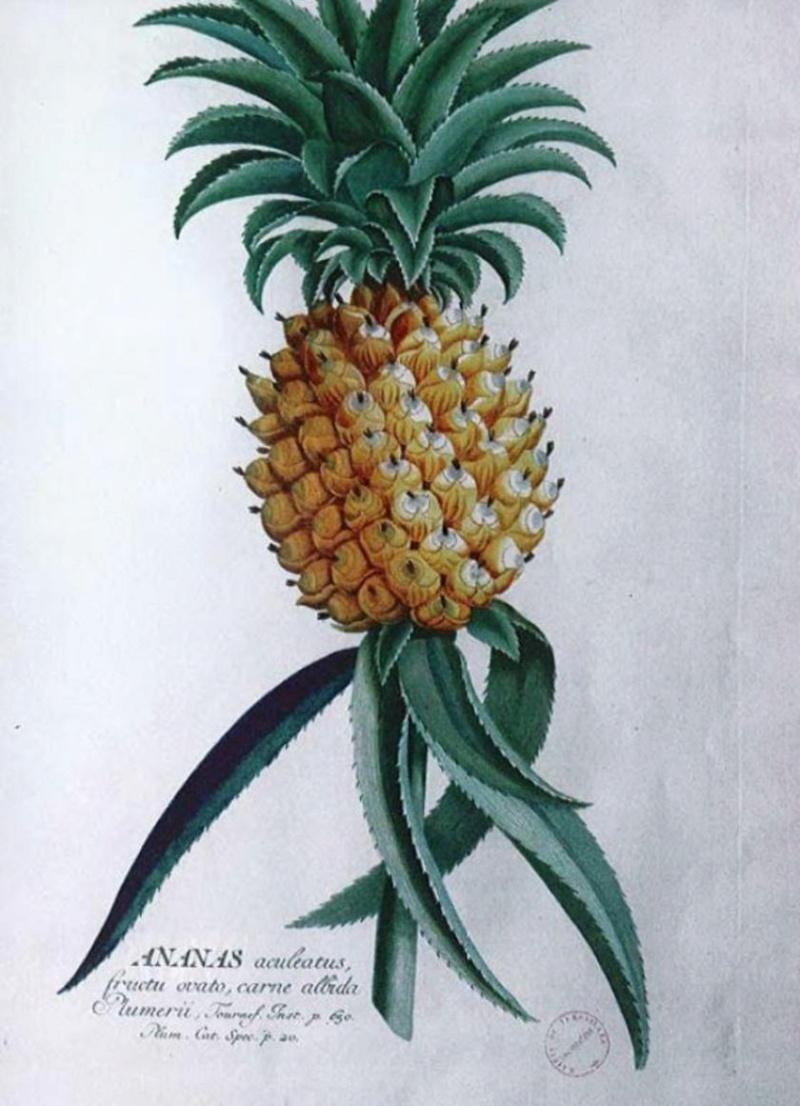 L'ananas, le fruit roi 79172510