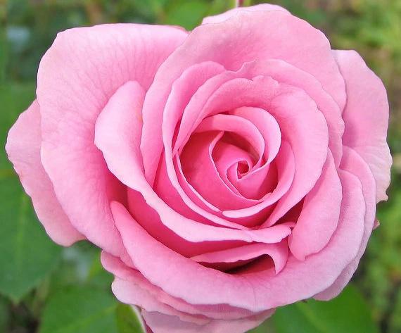 ::Desfile de Rosas AMDA::Si te perdiste alguna firma de este desfile entra aquí Rosa_r11