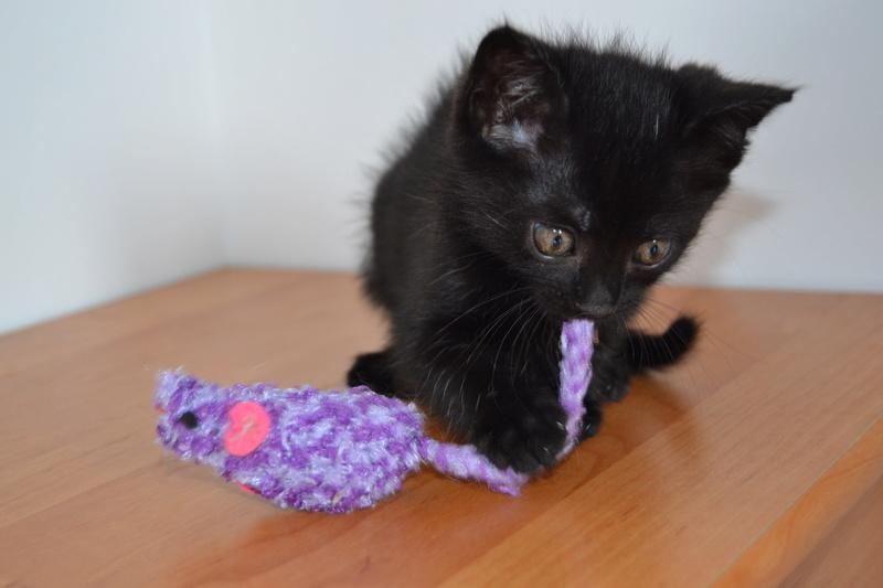 Ouzo, chaton mâle noir, né le 30.03.2018 Ouzo110