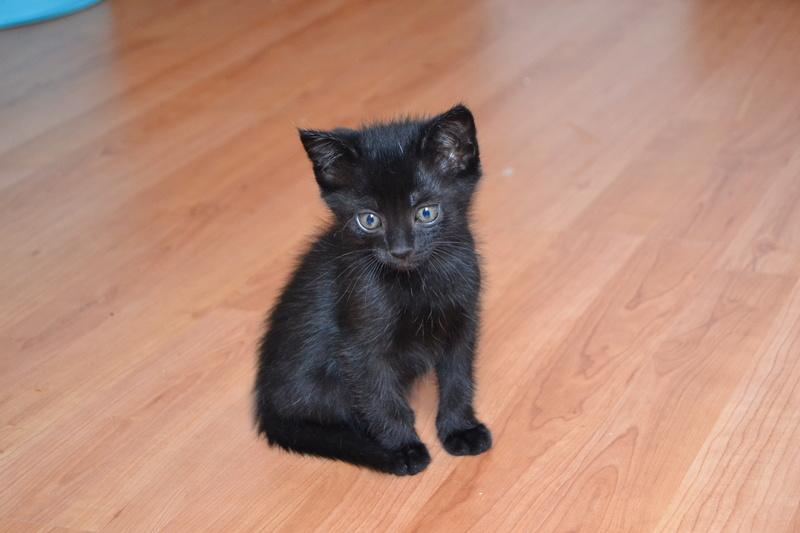 Ouzo, chaton mâle noir, né le 30.03.2018 Ouzo210