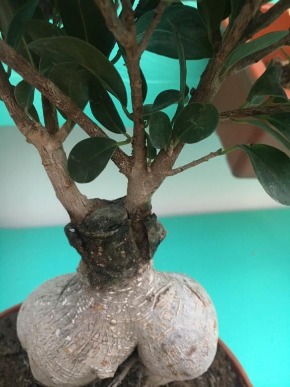 Dudas Ficus Ginseng 705e4310