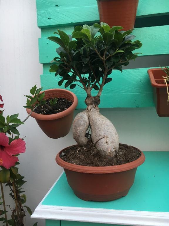 Dudas Ficus Ginseng 86014010