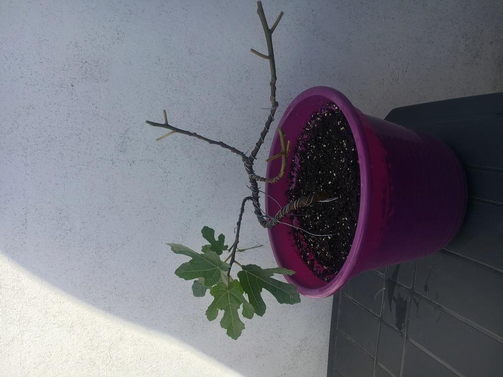 Pre bonsai Higuera (Ficus Carica) B0859410
