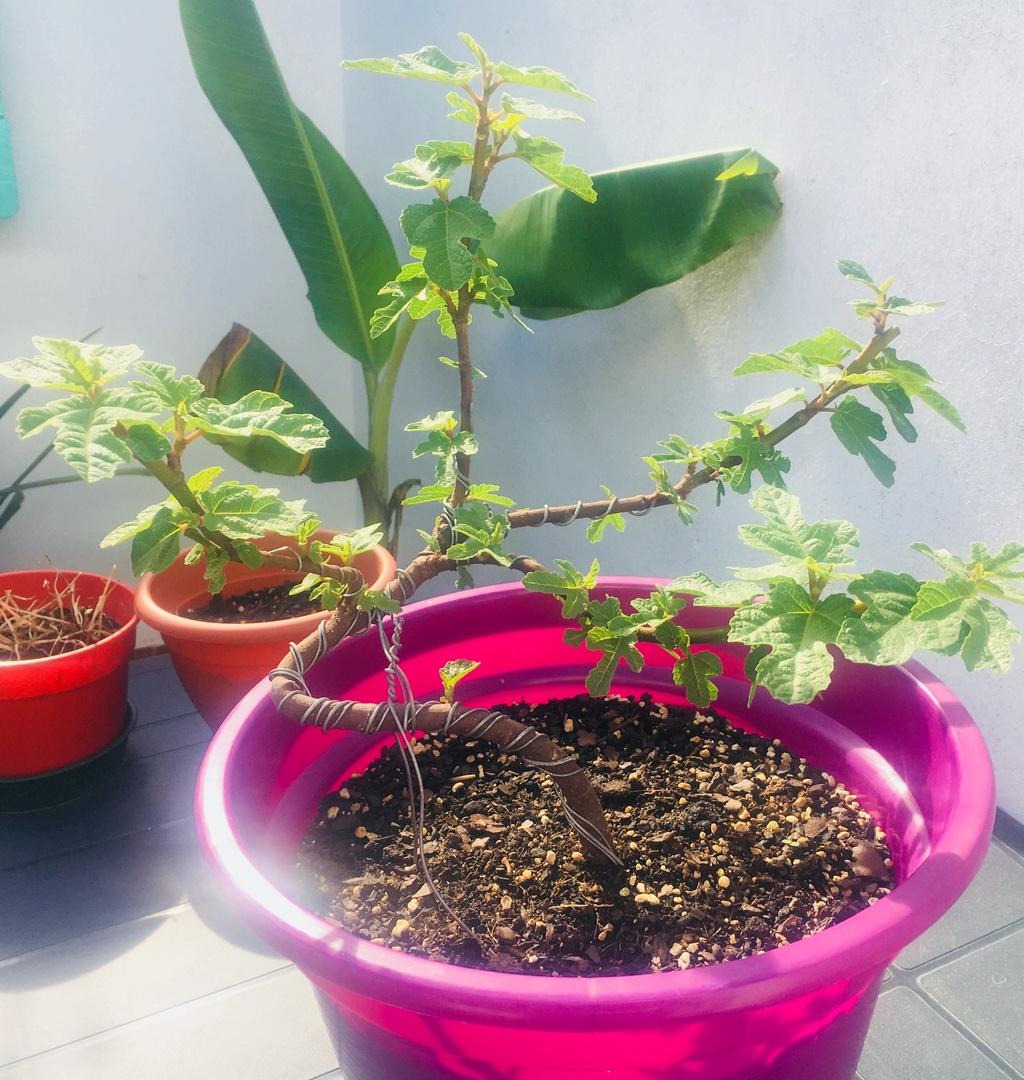 Pre bonsai Higuera (Ficus Carica) D7e6f010