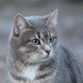 lemongrass's kitties Flintf11