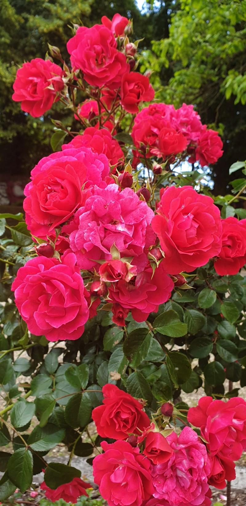 La couleur des roses... 20190623