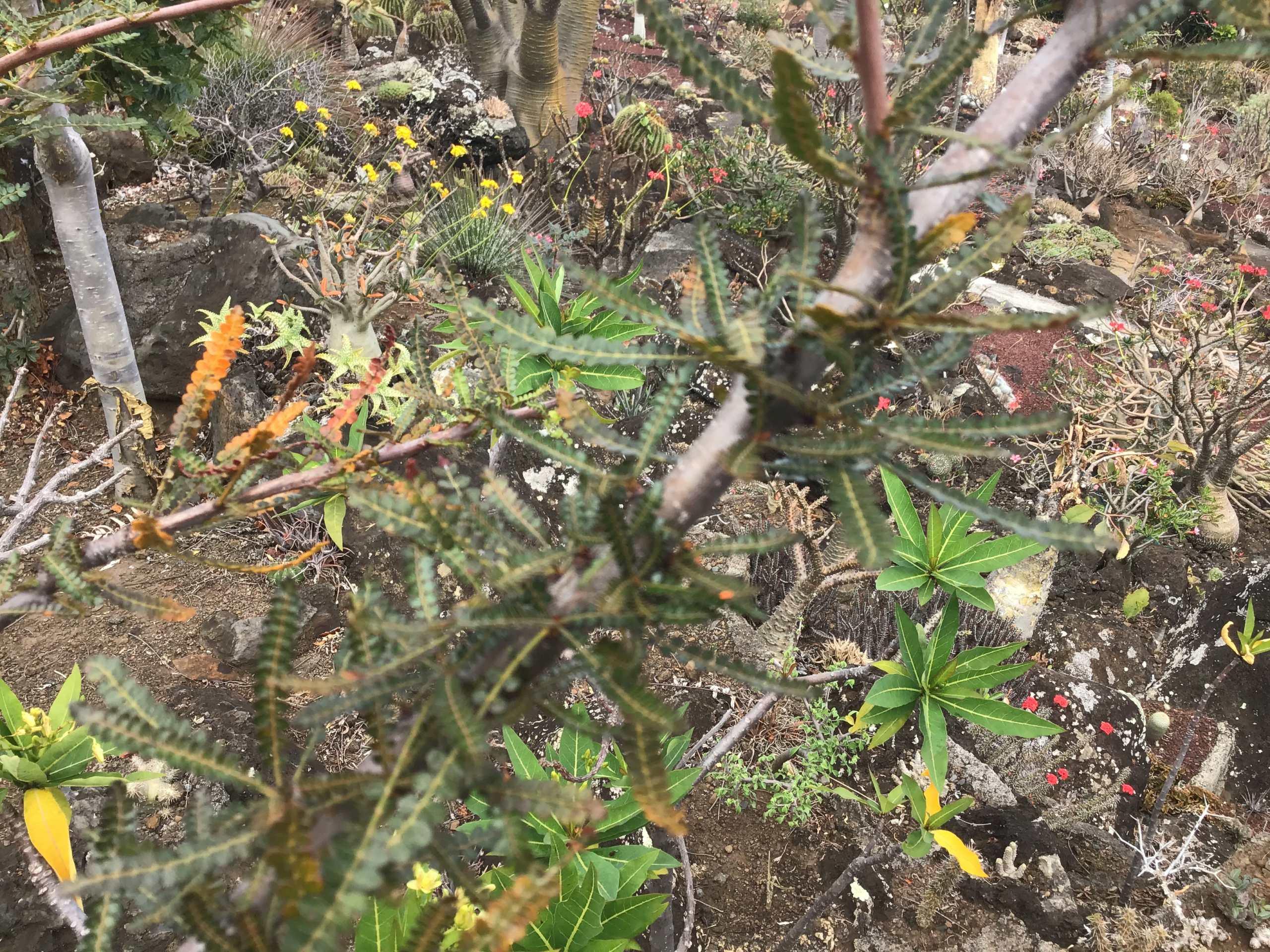 Boswellia Socotra  31f11510