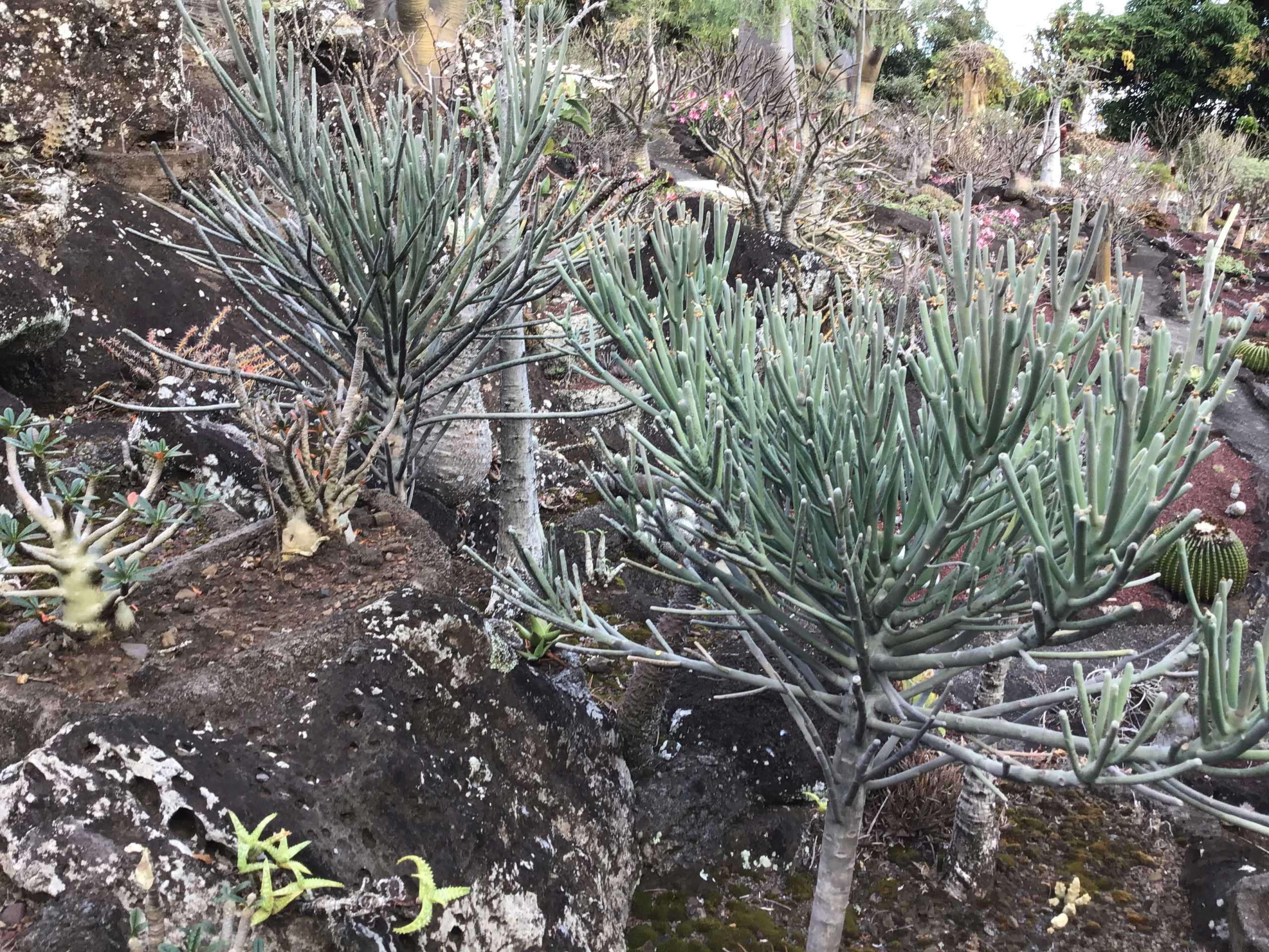 Eupjorbia arbuscula de Socotra 67be4910