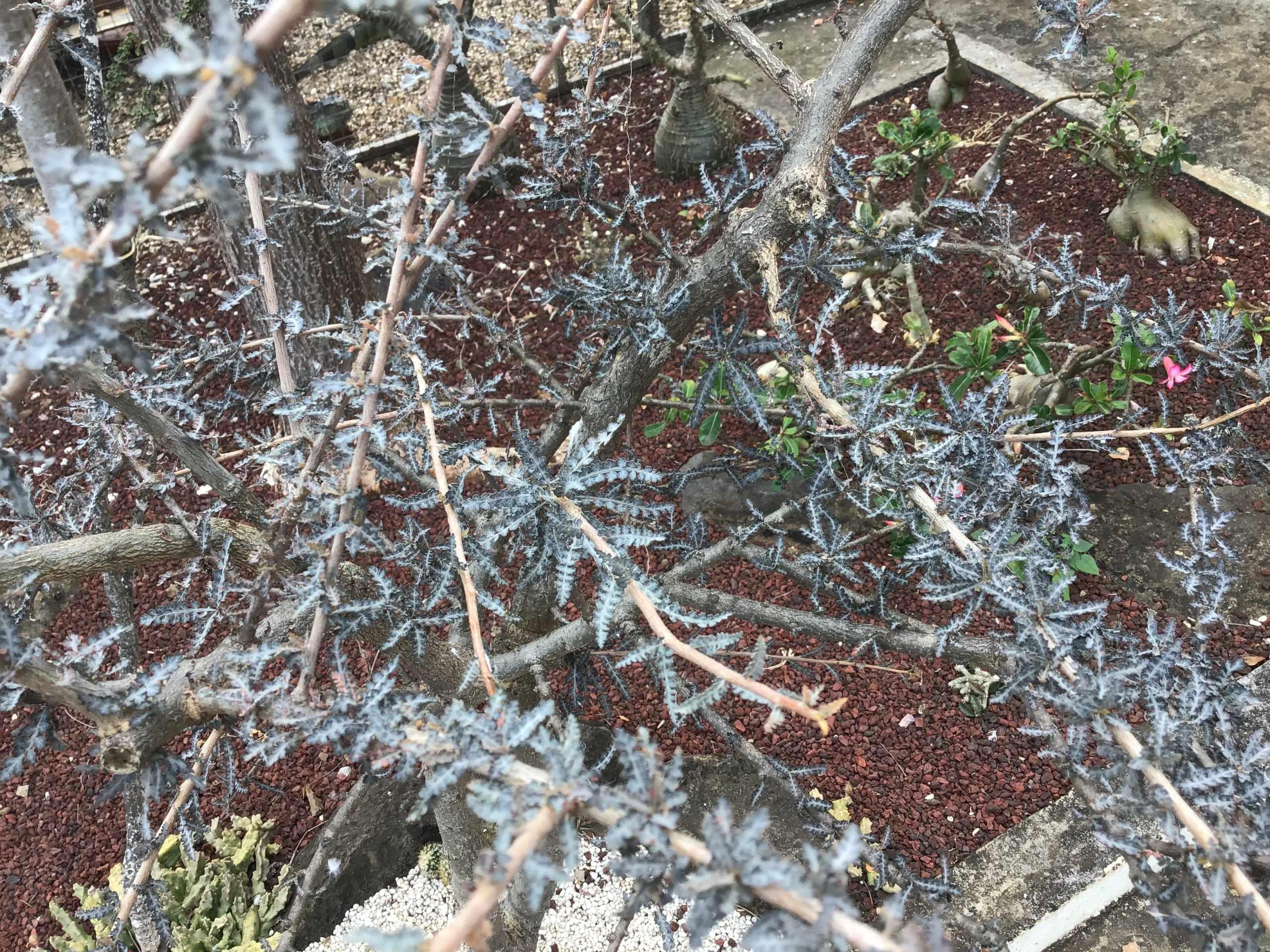 Boswellia Socotra  74d8e610