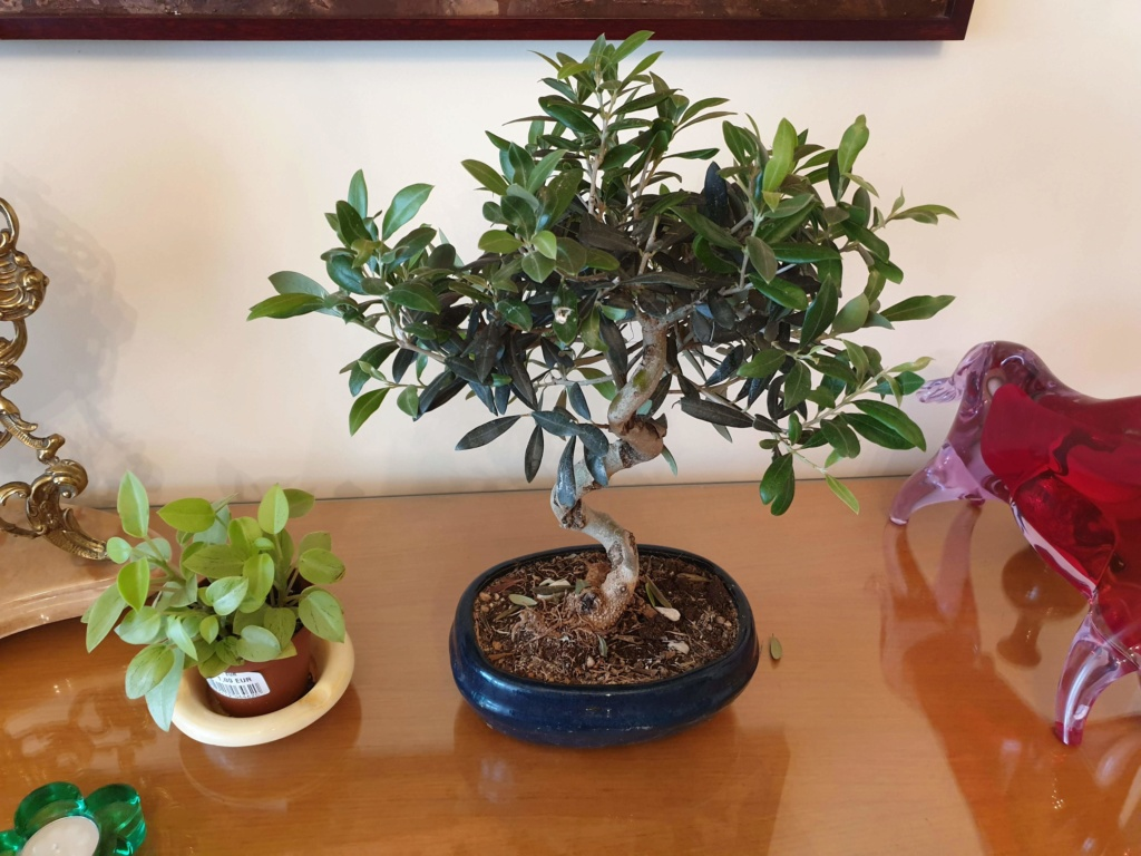 Bonsai olivo 20190610