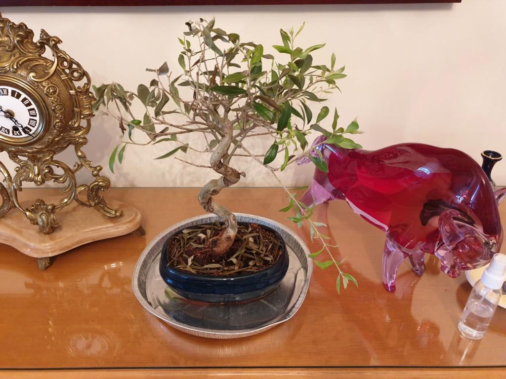 Bonsai olivo 20190810