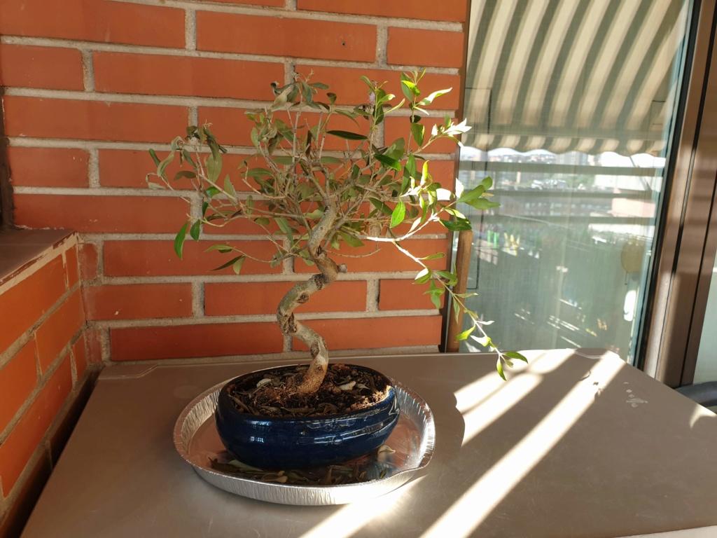 Bonsai olivo 20190812