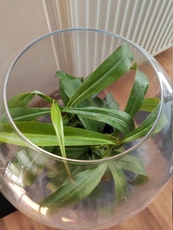 Nepenthes en terrarium. Img_2010