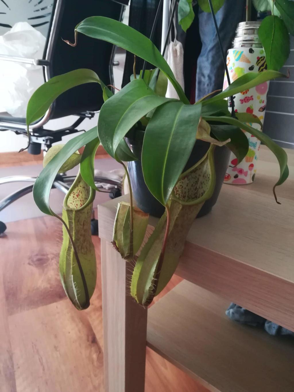 Nepenthes en terrarium. Receiv10