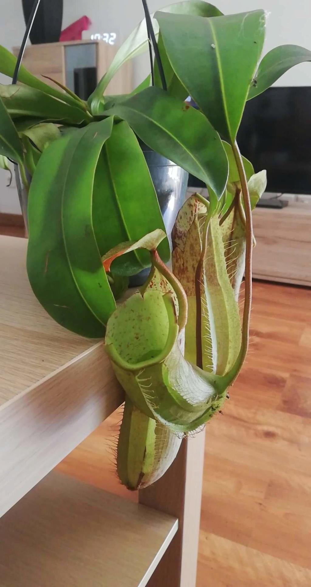 Nepenthes en terrarium. Receiv11