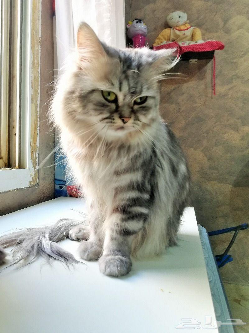 قطط شيرازي أمريكي للبيع - عمر سنة ونصف 800x1010