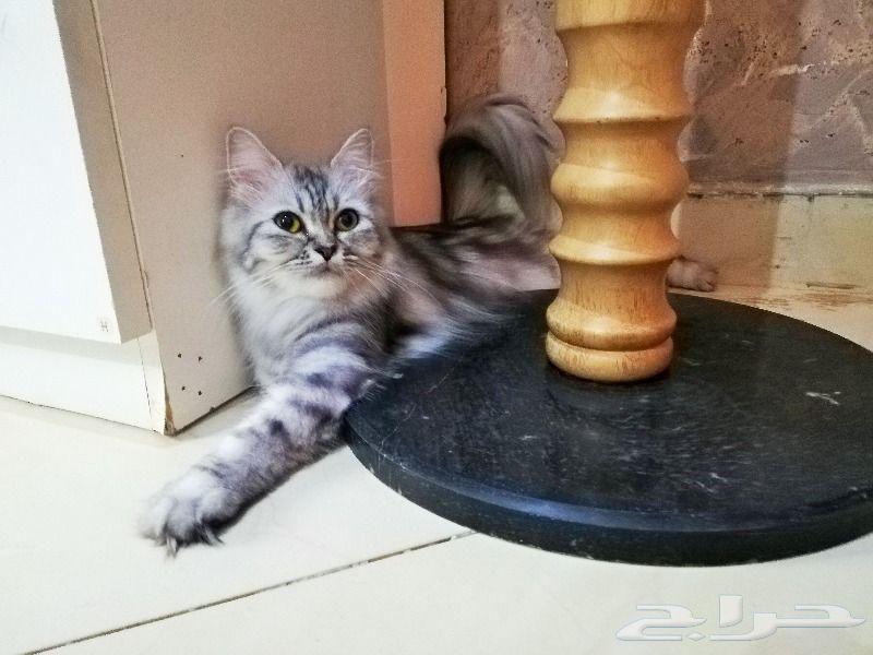 قطط شيرازي أمريكي للبيع - عمر سنة ونصف 800x6010