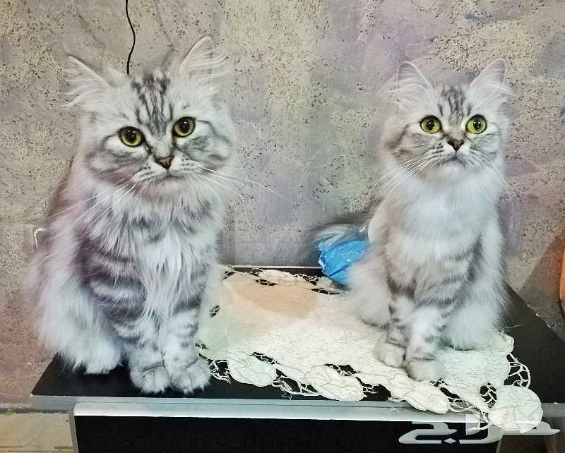 قطط شيرازي أمريكي للبيع - عمر سنة ونصف 800x6410