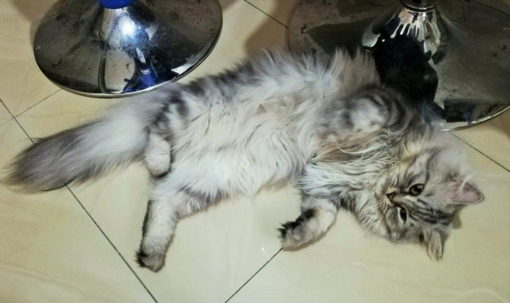 قطط شيرازي أمريكي للبيع - عمر سنة ونصف Img_2011