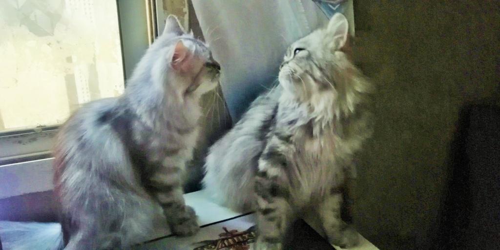 قطط شيرازي أمريكي للبيع - عمر سنة ونصف Img_2012