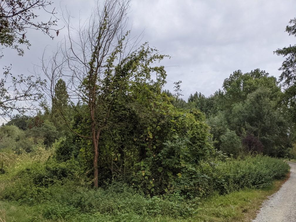 Houblon en bord de Garonne Img310